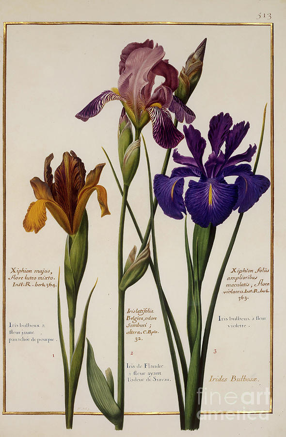 Vélins du XVIIe s. V_166510