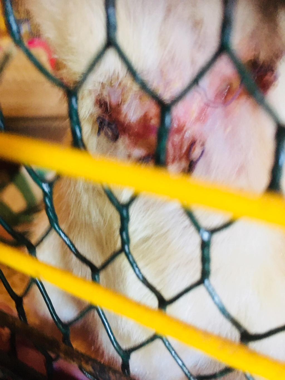 Ratte qui défait ses fils Img_1710