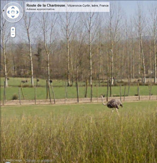 STREET VIEW : Les animaux Autruc10
