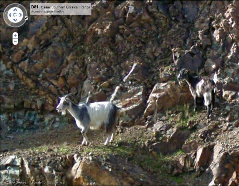 STREET VIEW : Les animaux Chevre11