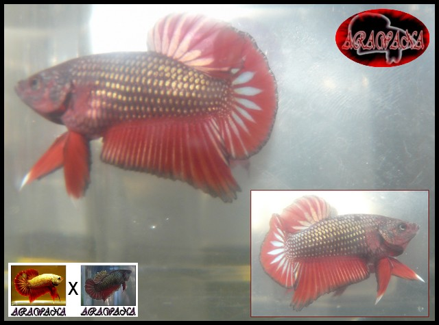 Jeunes Red dragon X red copper geno yellow M210