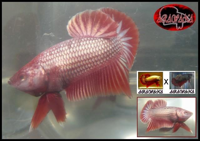Jeunes Red dragon X red copper geno yellow M3_col10
