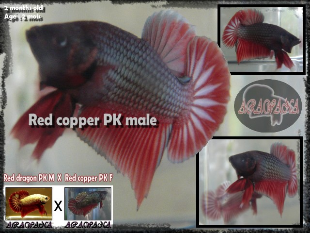 Jeunes Red dragon X red copper geno yellow Male_y10