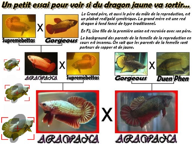 Jeunes Red dragon X red copper geno yellow Yellow10