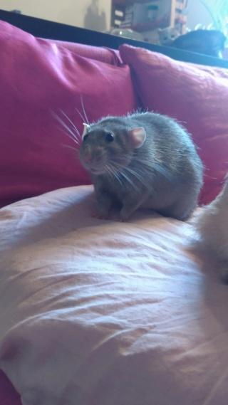 Rat mâle dumbo bleu 10 mois  (77) P_202011