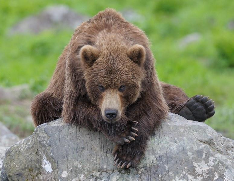 Ours (et saumons) dans le Kamtchatka Oursa10