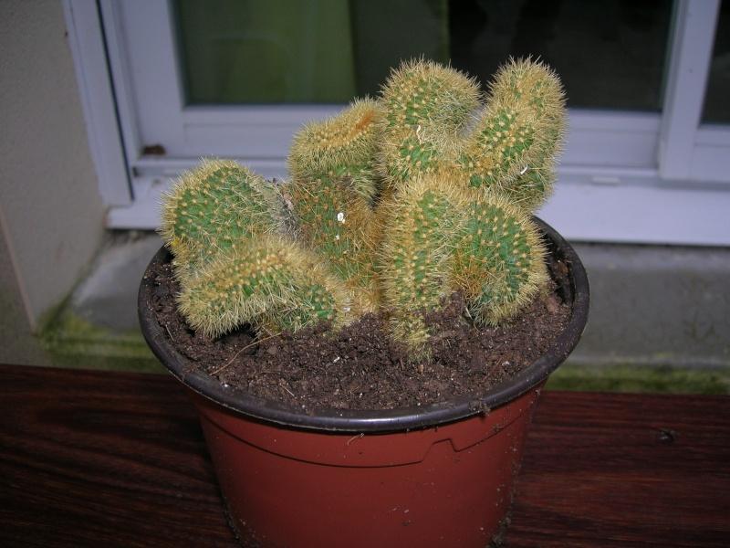 identification de cactus (Cleistocactus samaipatanus fma cristata.) Dscn1812