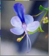 Les fleurs bleues Claro110