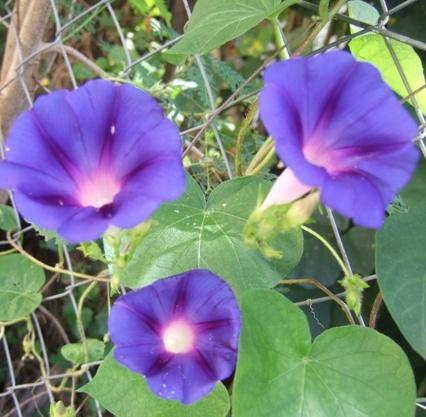 Les fleurs bleues Ipo210