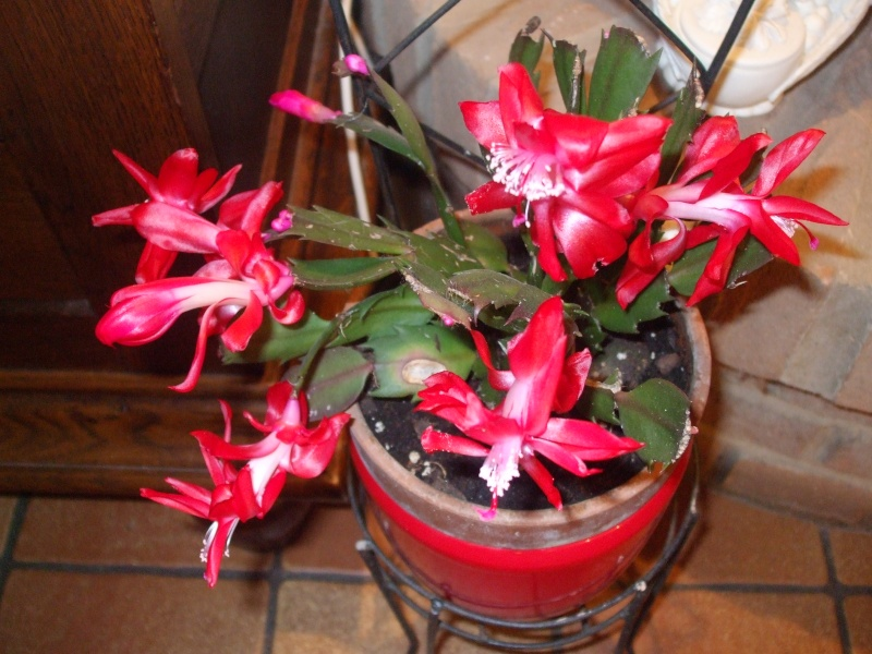 Nouvelle fleur Lepismium Bolivianum Dscf4710