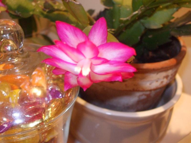 Nouvelle fleur Lepismium Bolivianum Dscf4810