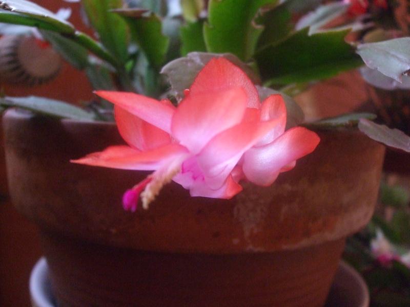 Nouvelle fleur Lepismium Bolivianum Dscf4910