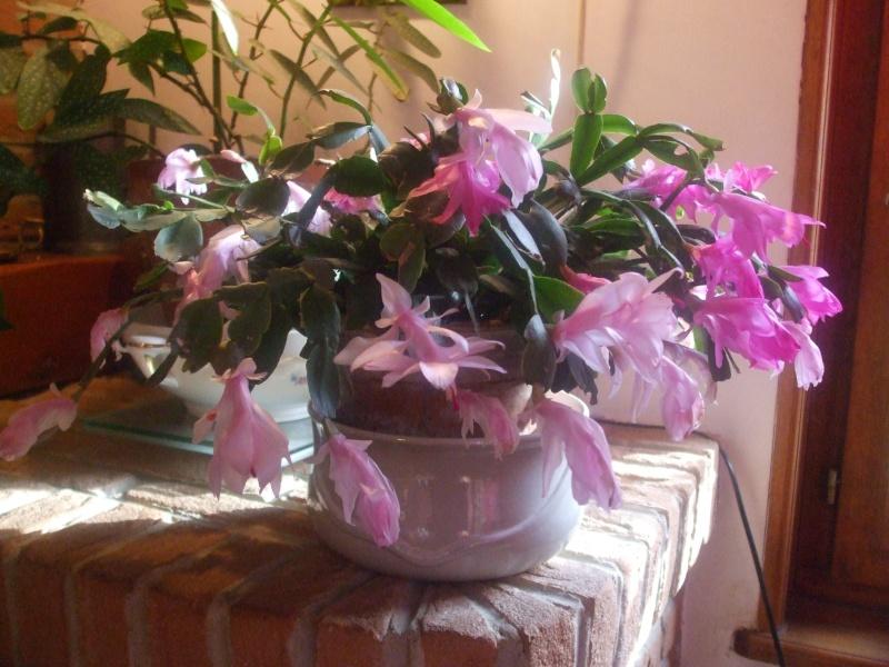 Nouvelle fleur Lepismium Bolivianum Dscf4911