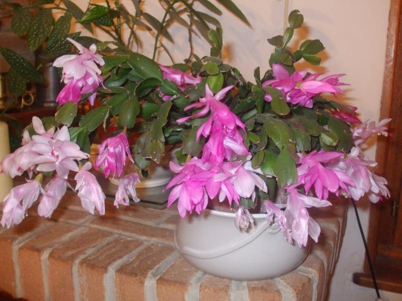 Nouvelle fleur Lepismium Bolivianum Dscf4913