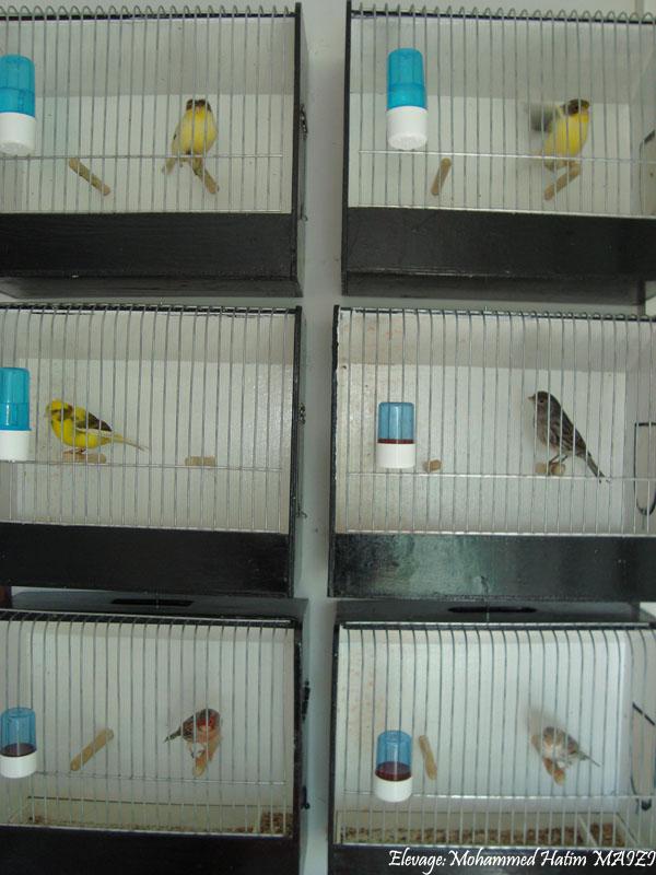 Quelques oiseaux en préparation au mondial . Dsc02312
