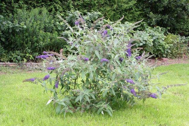 Les fleurs bleues Buddle10