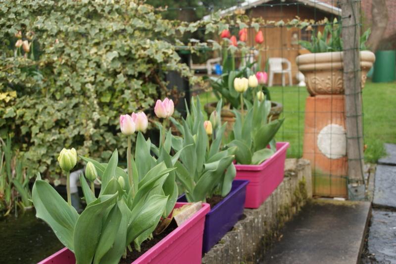 tulipe 2016 à 2019 - Page 5 Dsc05723