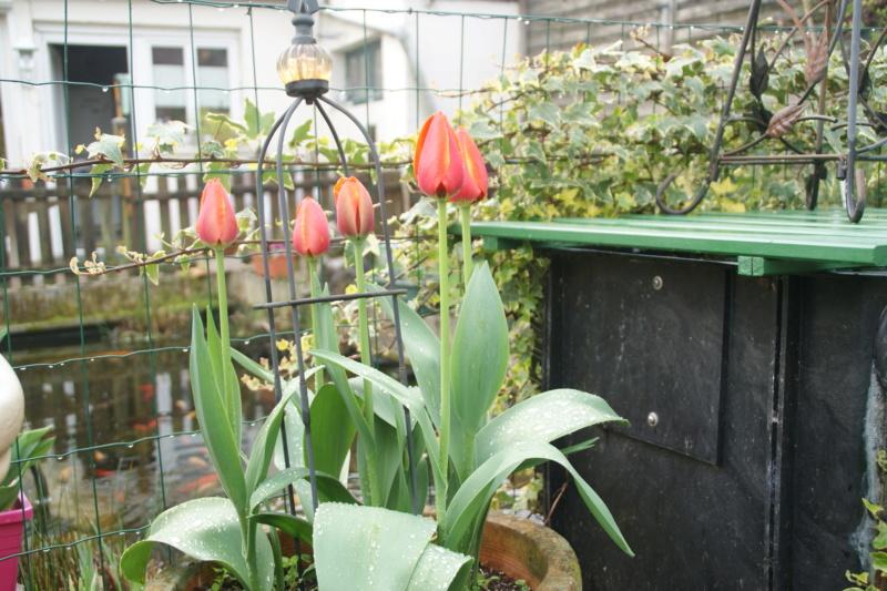 tulipes - Page 6 Dsc05724