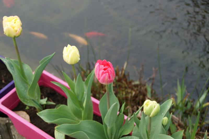 tulipes - Page 6 Dsc05725
