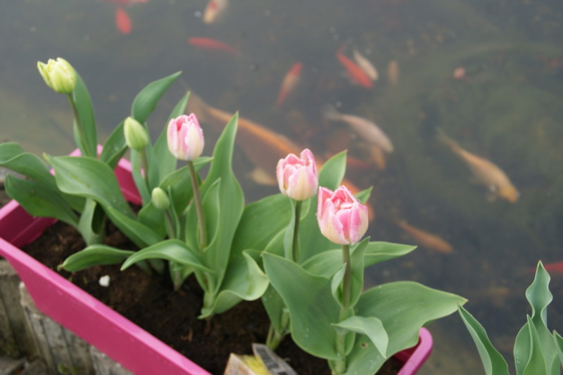 tulipes - Page 6 Dsc05726