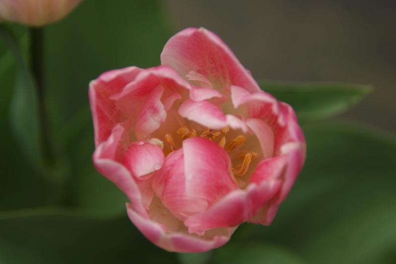 tulipes - Page 6 Dsc05727