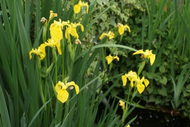Floraison d'iris 2017 - 2018 - 2019 - Page 15 Dsc05739