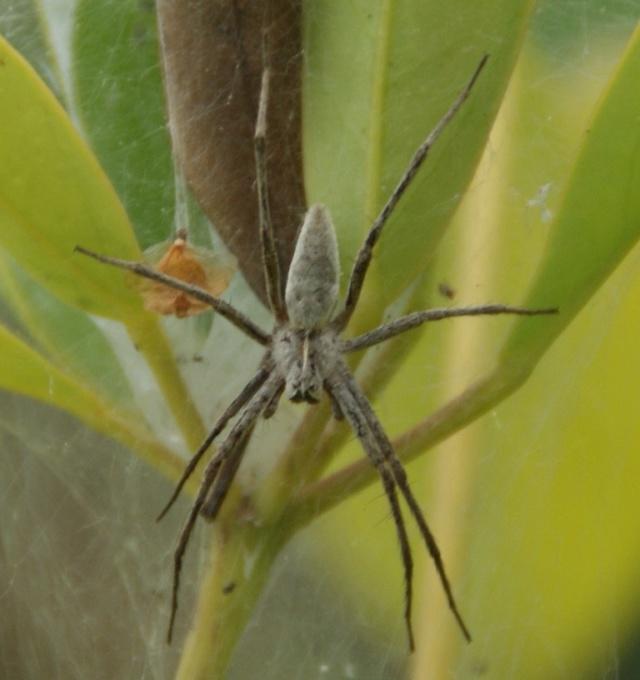 Araignée-loup enragé Dsc06115