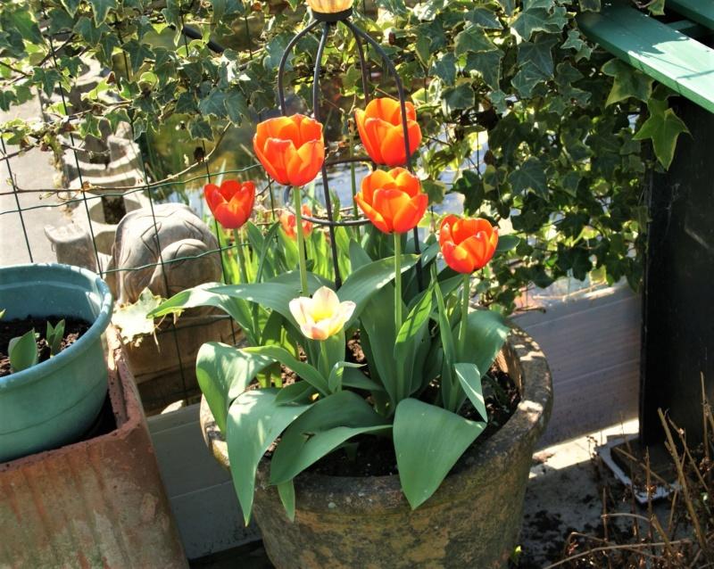 tulipes - Page 15 Dsc06410