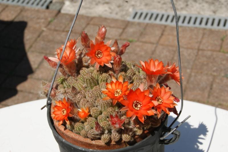 Cactus en fleur. Dsc06432