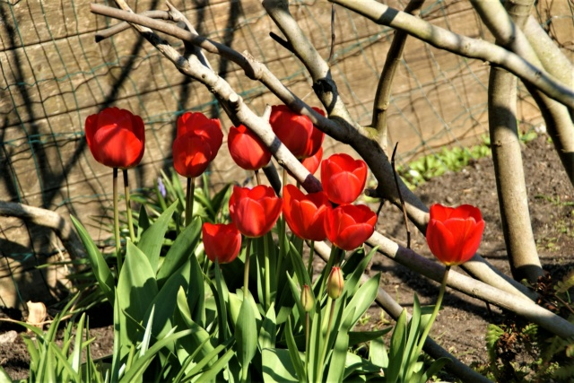 Tulipes. - Page 4 Dsc06813
