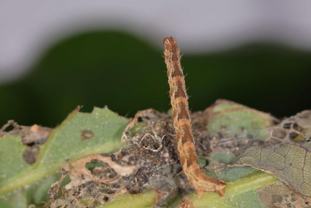Chenille d'Eupithecia abbreviata 051a5610