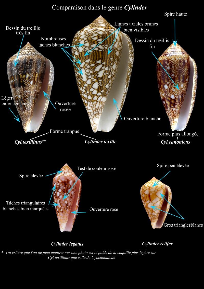 Conus (Cylinder) canonicus textilinus   Kiener, 1845  - Page 3 Comp_t10