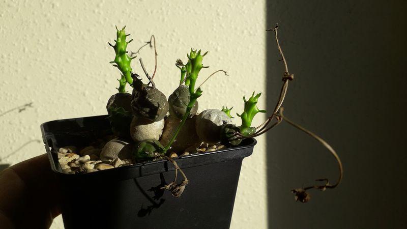 Euphorbia globosa 20190215