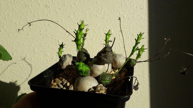 Euphorbia globosa 20190218