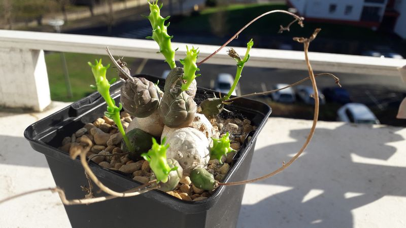 Euphorbia globosa 20190220
