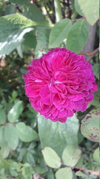petite renoncule violette 20190534