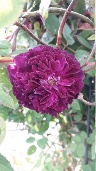 petite renoncule violette 20190535