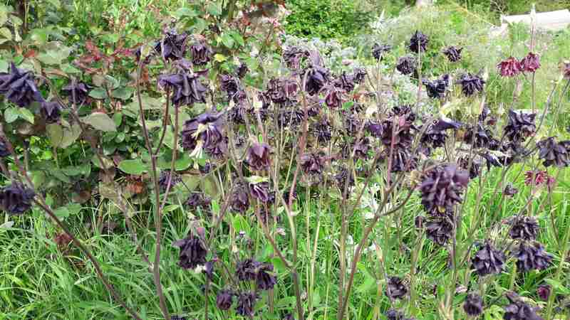 Aquilegia - les ancolies - Page 5 20190556