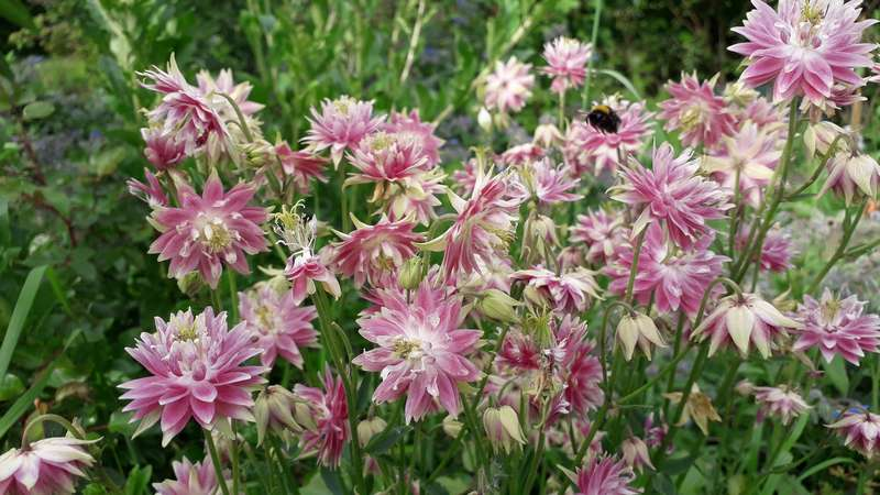Aquilegia - les ancolies - Page 5 20190557