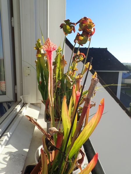 Plantes carnivores de Bip. Acs_bz11