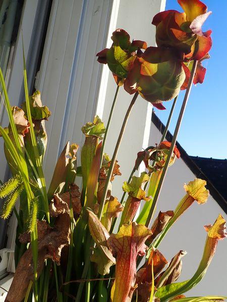 Plantes carnivores de Bip. Acs_bz13
