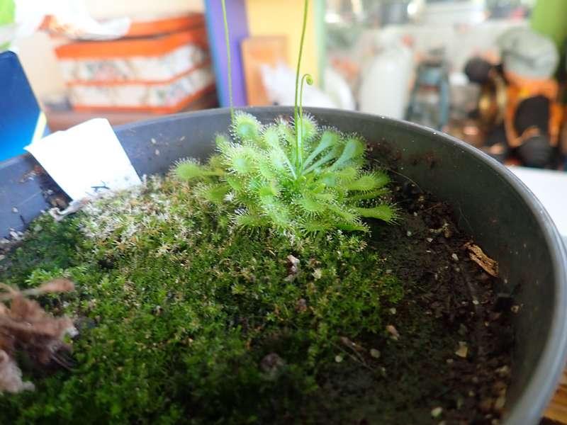 Plantes carnivores de Bip. Acs_bz14