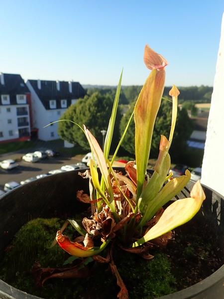 Plantes carnivores de Bip. Acs_bz15