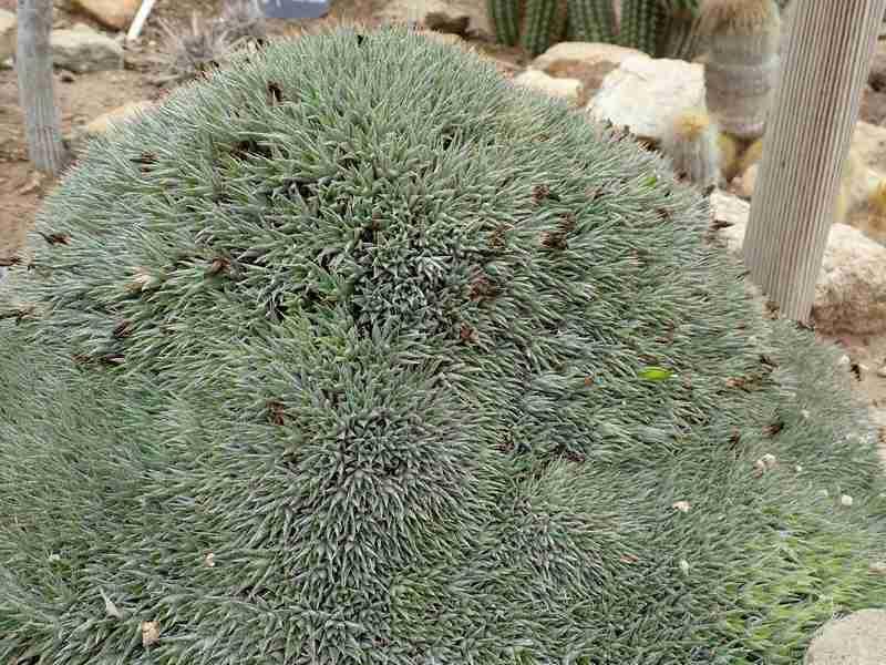 Deuterocohnia brevifolia (= Abromeitiella brevifolia) Aozt_227