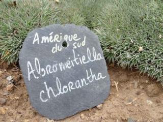 Deuterocohnia brevifolia (= Abromeitiella brevifolia) Aozt_230