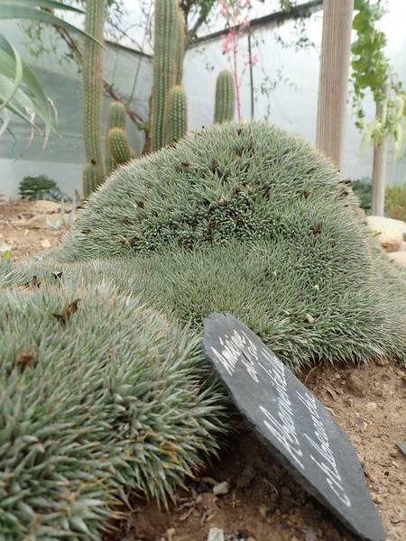 Deuterocohnia brevifolia (= Abromeitiella brevifolia) Aozt_233