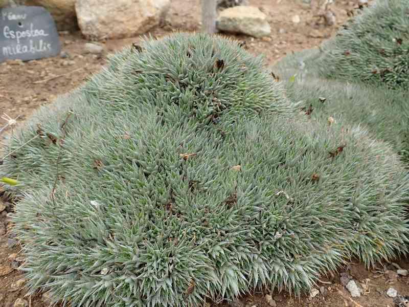 Deuterocohnia brevifolia (= Abromeitiella brevifolia) Aozt_234