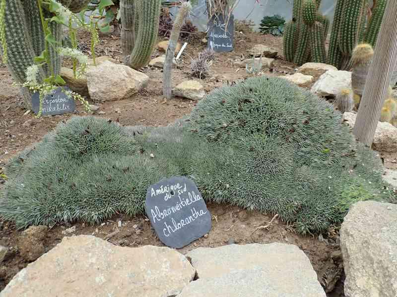 Deuterocohnia brevifolia (= Abromeitiella brevifolia) Aozt_235
