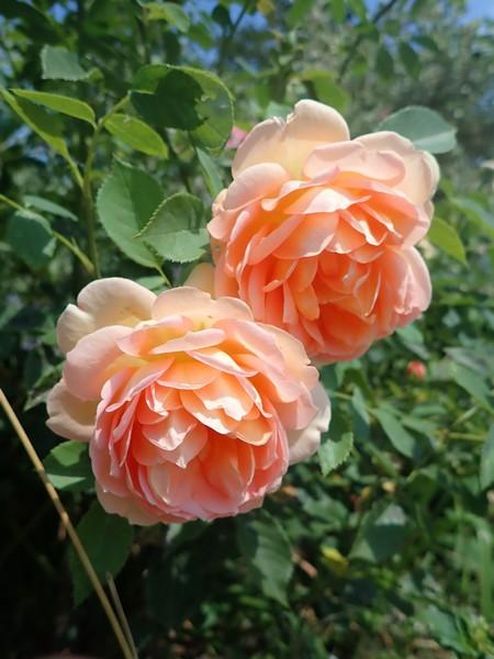 rosa 'lady of shalott' - Page 4 Credi_26