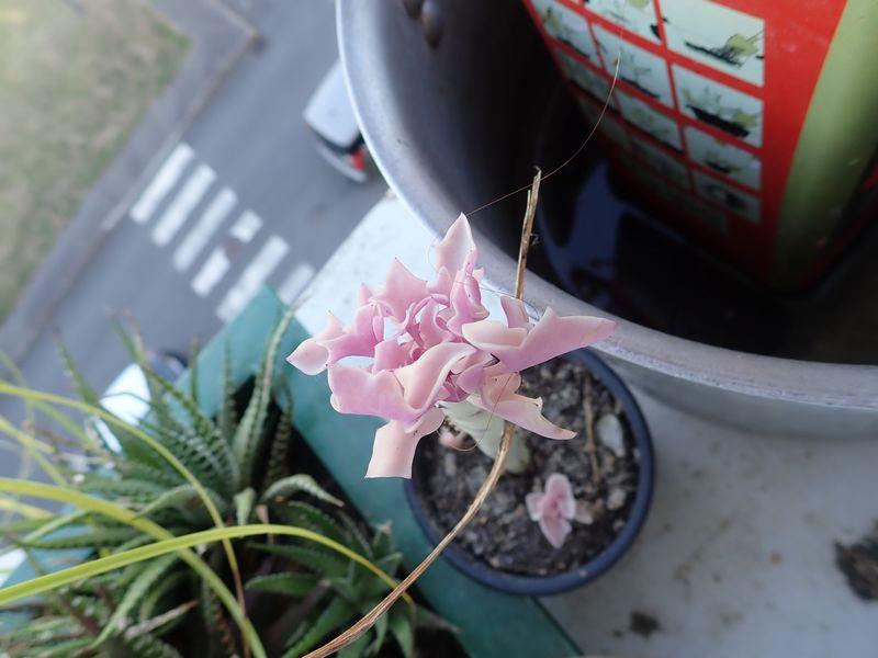 Senecio articulatus variegata Dimanc21